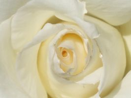 White Rose by opiumprincess
