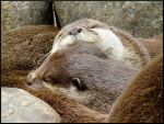 Otter II by Alice-view
