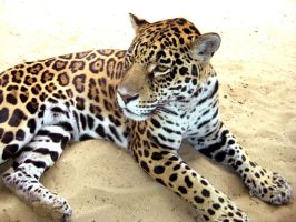 Leopard by looceh