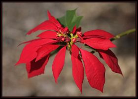Poinsettia Double Red by Firey-Sunset