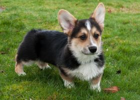 Gryffin the Puppy by DancingCorgi