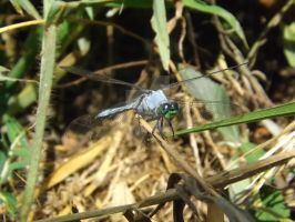 Dragonfly I by youngunlovedpoet