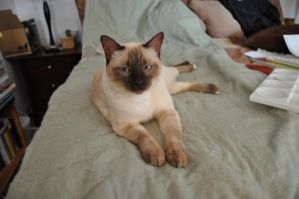 Robriel-Stock - Siamese Cat 3 by Robriel-Stock