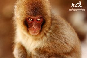 Snow Monkey - 1 by RDography