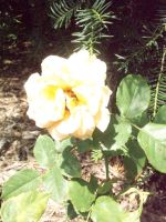 Light Yellow Rose by KristineAdelia