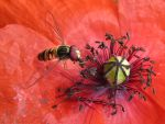 Popping Hoverfly by CedaCo