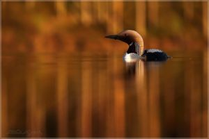 Black-throated diver 2 by Starfall00