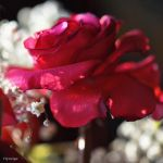 Quand une Rose se Marie I by hyneige