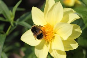 Garden Visitor on yellow dahlia by Vincent-Malcolm