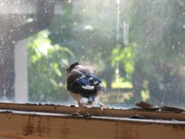Fledgling Blue Jay Stock 2 by Oddstuffs