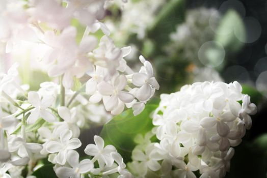 white lilac by Luba-Lubov-13