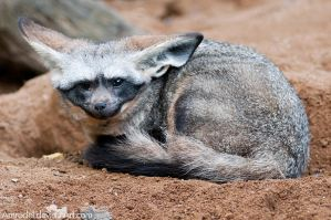 Bat-eared Fox II by amrodel