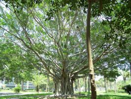 Banyan Tree by Polly-Stock