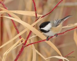 Winter Chickadee by Les-Piccolo