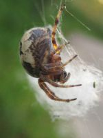 Orb Weaver 6 by iriscup
