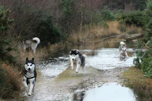 Dogs playing in the Puddle by jacksonsrus