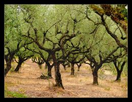 Where Is Jesus? - Olive Trees by skarzynscy