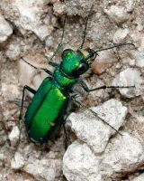Tiger Beetle Stock by Ironpaw