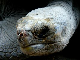 old galapagos turtle by melrose86