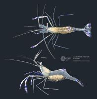 Pederson cleaner shrimp by albertoguerra