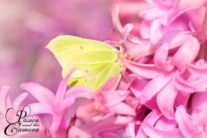 Common Brimstone by PassionAndTheCamera