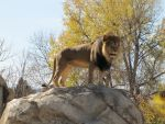 African Lion XXXXI by DrachenVarg-stock