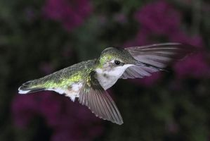 Hovering Hummer by papatheo