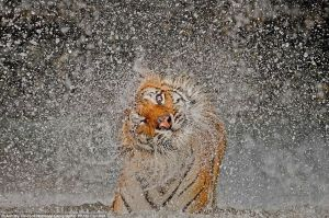 Tiger drying itself. by saqopakajmer