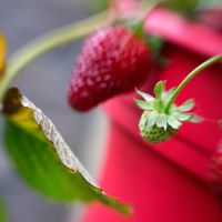 Lensbaby Strawberries I by LDFranklin