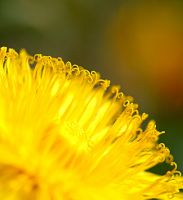 Dandelion by in2photography