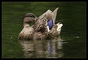 Mallard - Pruning by Karl-B