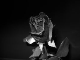 One special rose by dd15