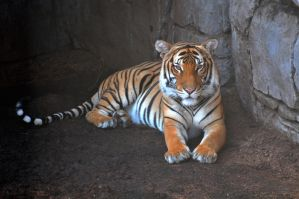 Relaxing tiger by NB-Photo