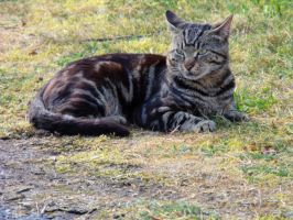 Domestic Wild Cat.. by WelshDragonStockNArt