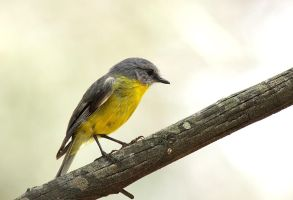 Yellow Robin by bredli84