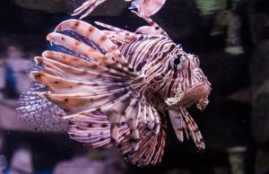 Lionfish I by OrangeRoom
