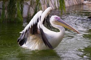 Pelican by agelisgeo