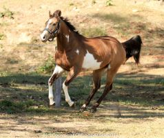 VR Pinto canter front side view bit blur by Chunga-Stock