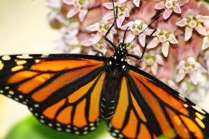 Monarch on Milkweed 5 by S-H-Photography