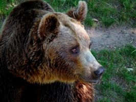 Portrait of bear by Valvador
