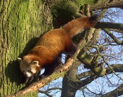 Red Panda by Satheda