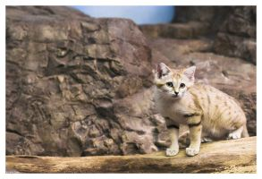 Sand Cat Kitten by ewm