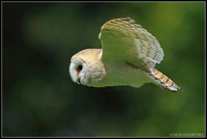 Barn Owl In Flight by nitsch