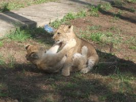 lion cubs fight by LilDash