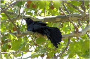 Grackle II by SuicideBySafetyPin