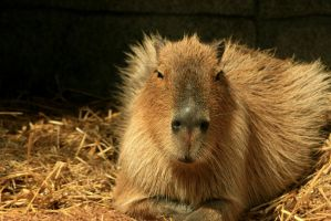 Capybara by timseydell