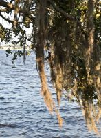 More Spanish Moss and water... by drewii57