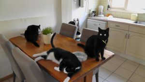 Augustus 2012 - Blacky, Beffy and Droppy by Herdervriend
