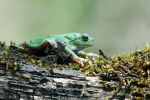 Hyla arborea by Mantide