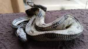 Baby Red Tail Boa by PinkCupcakeAddict
